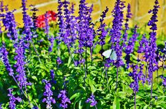 Farfalla bianca sui fiori porpora. Fotografie Stock Libere da Diritti