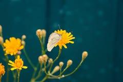 Farfalla bianca sulla natura gialla di estate del fiore immagine stock libera da diritti