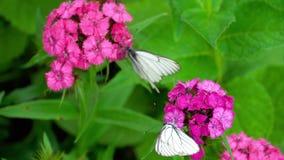 Farfalla bianca venata il nero video d archivio