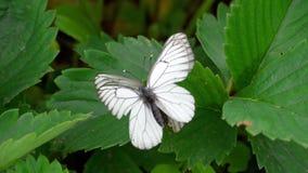 Farfalla bianca venata il nero stock footage