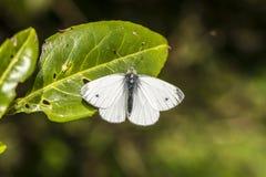farfalla bianca Verde-venata Fotografia Stock