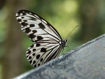 Farfalla in in bianco e nero Fotografia Stock Libera da Diritti