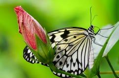 Farfalla in bianco e nero che si nasconde dietro il germoglio di fiore rosso Immagini Stock