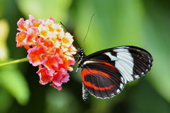 Farfalla in bianco e nero di Longwing immagine stock libera da diritti