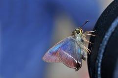 farfalla Bianco-legata del punteruolo Immagine Stock