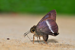 farfalla Bianco-legata del punteruolo Fotografia Stock Libera da Diritti