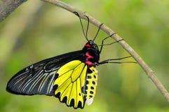 Farfalla - Birdwing dorato Fotografia Stock