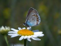 Farfalla blu Immagine Stock Libera da Diritti