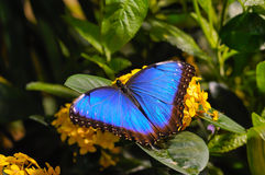 Farfalla blu Fotografie Stock Libere da Diritti