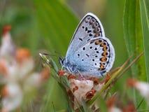 Farfalla blu Fotografia Stock