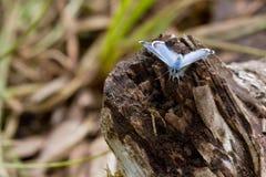 Farfalla blu che riposa su un ceppo di decomposizione Immagini Stock Libere da Diritti