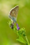 Farfalla blu comune Immagini Stock