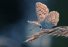 Farfalla blu comune che riscalda su un'erba Fotografia Stock
