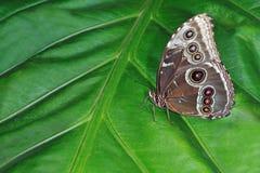 Farfalla blu comune di Morpho Fotografie Stock Libere da Diritti