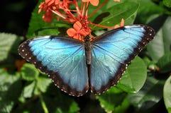 Farfalla blu comune di Morpho, aka, peleides di Morpho immagine stock libera da diritti