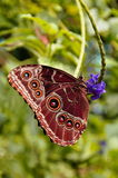 Farfalla blu comune di Morpno, peleides di Morpho immagini stock libere da diritti