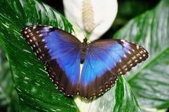 Farfalla blu comune di Morpno, peleides di Morpho fotografia stock