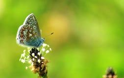 Farfalla blu comune a Grantown su Spey Fotografia Stock Libera da Diritti