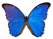 Farfalla blu (con il percorso) Immagine Stock
