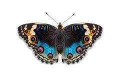 Farfalla blu del Pansy Fotografie Stock Libere da Diritti