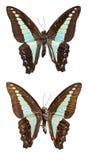 Farfalla blu del triangolo Fotografia Stock