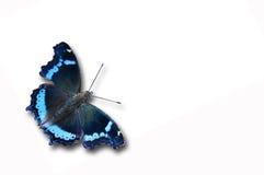 Farfalla blu dell'ammiraglio Fotografia Stock
