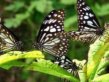 Farfalla blu della tigre Immagine Stock