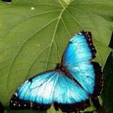 Farfalla blu, Denver, Colorado, primavera immagini stock libere da diritti