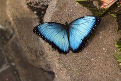 Farfalla blu di Morpho Immagine Stock Libera da Diritti