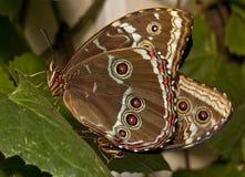 Farfalla blu di Morpho Immagine Stock