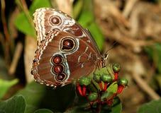 Farfalla blu di Morpho fotografie stock libere da diritti