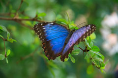 Farfalla blu di Morpho Fotografia Stock