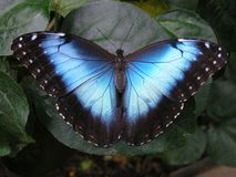 Farfalla blu di Morpho Fotografie Stock
