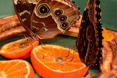 Farfalla blu di Morpho alla stazione d'alimentazione. immagine stock