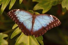 Farfalla blu di morpho da sopra Fotografia Stock Libera da Diritti
