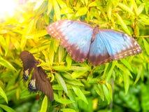 Farfalla blu di Morpho, peleides di Morpho, sedentesi in permesso verde Fotografia Stock