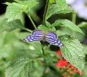 Farfalla blu e bianca del punto Fotografia Stock