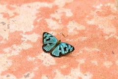 Farfalla blu e nera Fotografie Stock