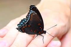 Farfalla blu e rossa Immagine Stock Libera da Diritti