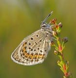 Farfalla blu fissata argento Fotografia Stock Libera da Diritti