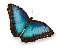 Farfalla blu isolata su bianco Fotografie Stock