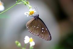 Farfalla Blu-Macchiata del corvo Fotografie Stock Libere da Diritti