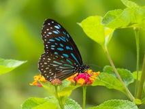 Farfalla blu scuro della tigre Immagini Stock