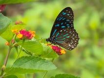 Farfalla blu scuro della tigre Fotografia Stock Libera da Diritti