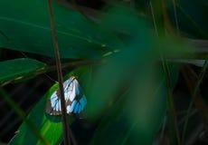 Farfalla blu sonnolenta Fotografie Stock Libere da Diritti