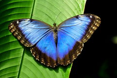 Farfalla blu splendida di Morpho fotografia stock