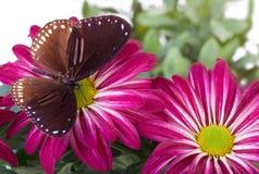 Farfalla blu a strisce del corvo Fotografia Stock Libera da Diritti