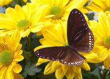 Farfalla blu a strisce del corvo Immagine Stock Libera da Diritti