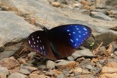 Farfalla blu a strisce del corvo fotografia stock