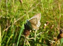 Farfalla blu su una pianta Fotografia Stock Libera da Diritti